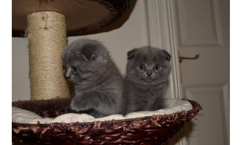 Scottish Fold Kittens til salg