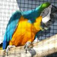 blå og guld ara