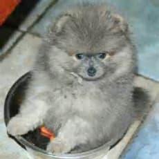 Pomeranian hvalpe