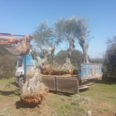 Jeg sælger oliventræer