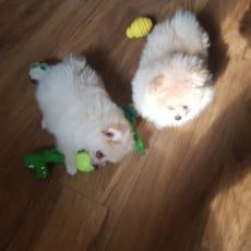 Pomeranian hvalpe til salg