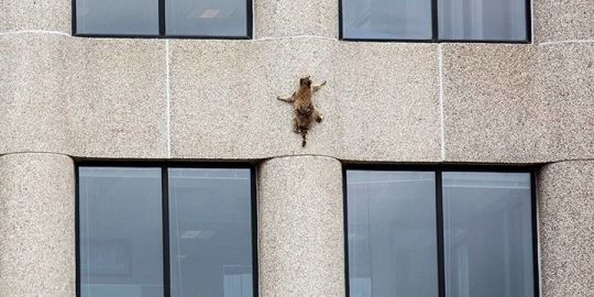 Minnesota raccoon scales skyscraper in 2-day misadventure that captivated internet