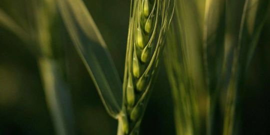 CFIA issues statement on discovery of unauthorized, genetically modified, herbicide-tolerant wheat in southern Alberta