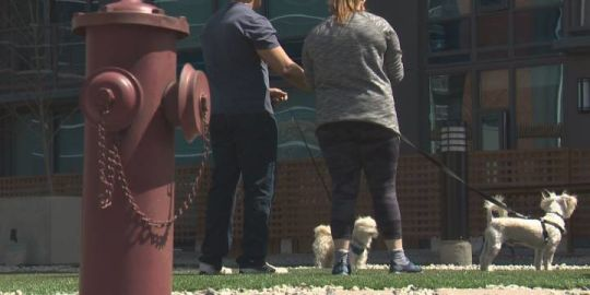 Edmonton highrise opens rooftop dog park with grassy turf, fake fire hydrants