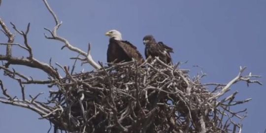 Eagles rescued from wildfire flames near Kamloops