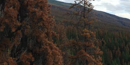 Mountain pine beetle epidemic sparks wildfire concerns in Jasper