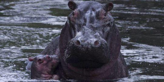 Hippo kills Taiwan tourist in Kenya