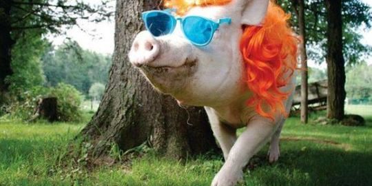 Esther the Wonder Pig found to have cancerous tumour