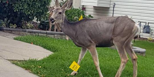 Okotoks asks residents to help count deer using free app