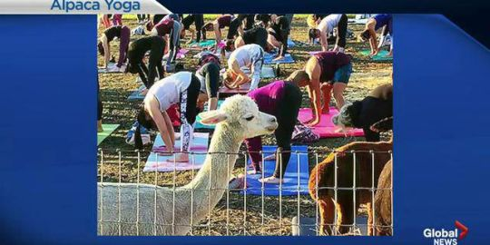 Alpaca yoga now available to yoga enthusiasts near Winnipeg