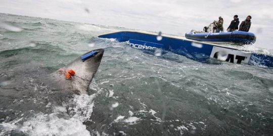 Halifax researchers tag great white shark in Atlantic Canada for first time
