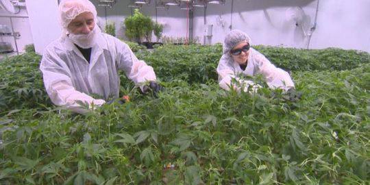 Pointe-Claire medical marijuana company ramps up production for recreational pot