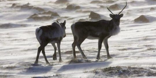 Environmental groups call on federal government to protect caribou in northern Ontario