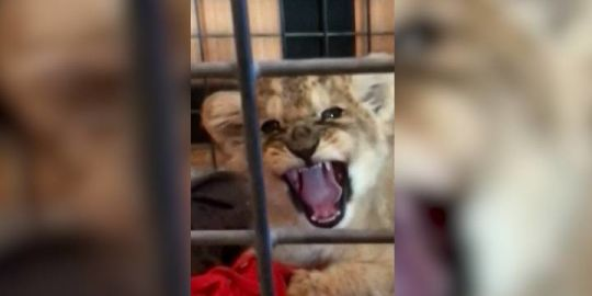 Paris police pull over Lamborghini on Champs-Elysee, find lion cub in backseat