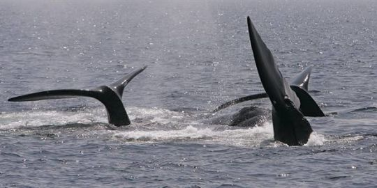 Transport Canada lifts speed restrictions implemented to protect North Atlantic right whales