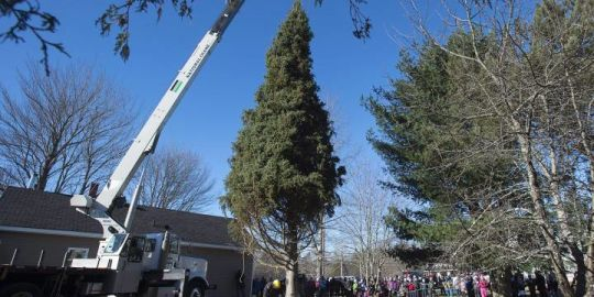 Nova Scotia begins annual ritual of honouring its 'Tree for Boston'