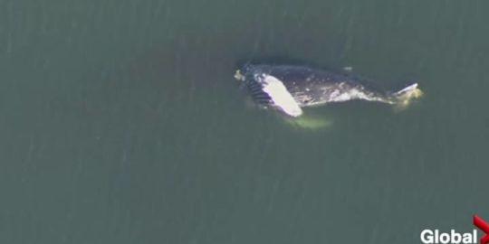 Dead humpback whale found near Tsawwassen ferry terminal