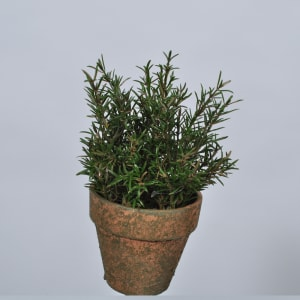 Silk-ka plante i potte