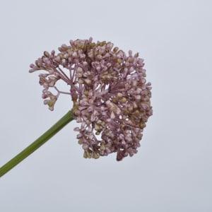 Silk-Ka blomst allium lavendel