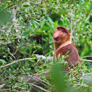 Höhepunkte Borneos ab Kuching: Borneo Nasenaffe