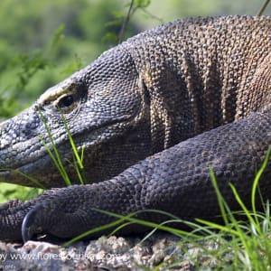 Abenteuer Komodo ab Labuan Bajo: Indonesien Flores Komodo Waran