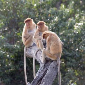 Bako Nationalpark, EN, Ganztägig in Kuching: Malaysia Borneo Nasenaffen