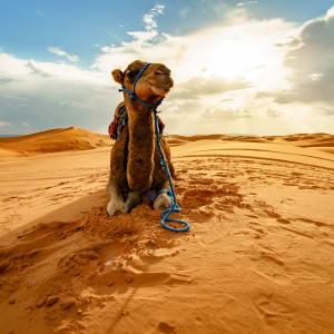 Auf den Straßen und Pisten des Königreichs ab Marrakesch: Marokko Kamel in der Wueste nahe Merzouga