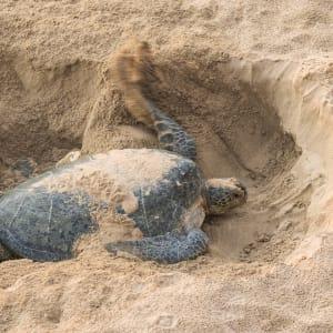 Natur & Kultur Oman ab Muscat: Oman Schildkröte