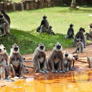 Naturpfade Sri Lankas ab Colombo: Sri Lanka Yala Nationalpark Affen