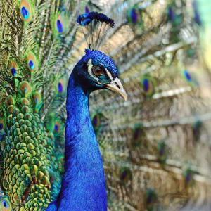 Naturpfade Sri Lankas ab Colombo: Sri Lanka Yala Nationalpark Pfau