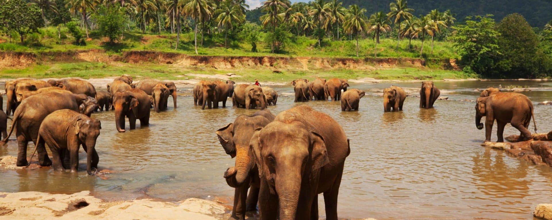 Naturpfade Sri Lankas ab Colombo: Sri Lanka Elefanten