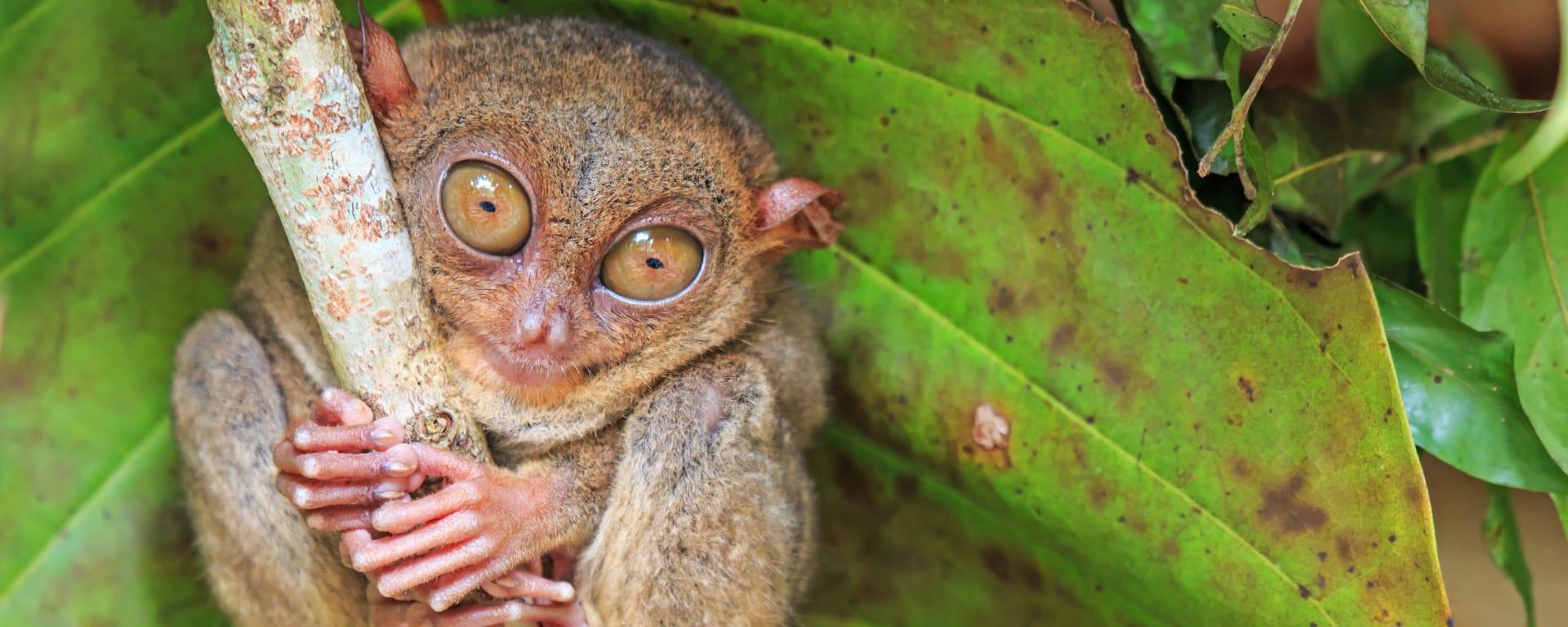 Philippinen entdecken mit Tischler Reisen: Philippinen Tierwelt Tarsier