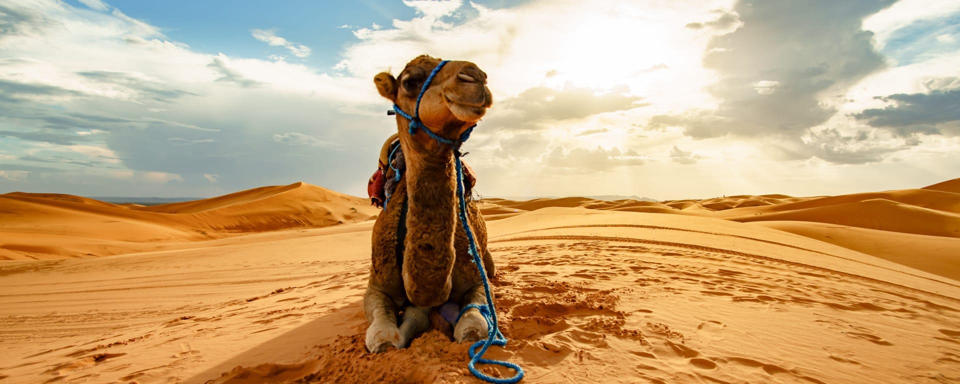 Marokko entdecken mit Tischler Reisen: Marokko Kamel in der Wueste nahe Merzouga