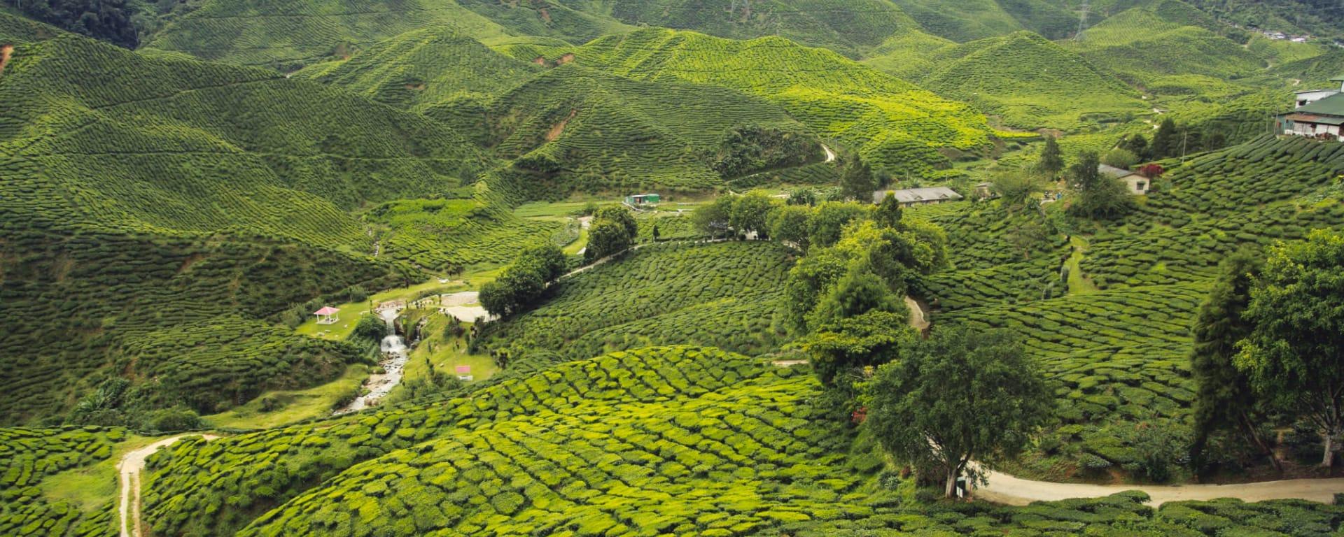 Indien entdecken mit Tischler Reisen: Indien Darjeeling Teeplantagen