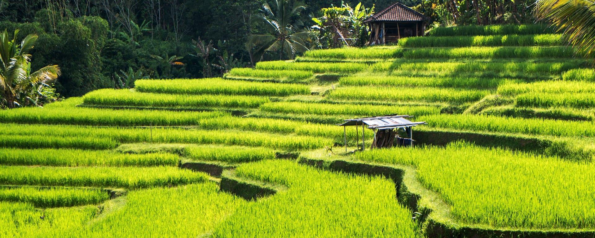 Indonesien entdecken mit Tischler Reisen: Indonesien Bali Reisterrassen