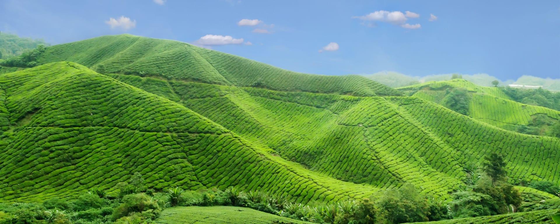 Malaysia entdecken mit Tischler Reisen: Malaysia Cameron Highlands Teeplantagen