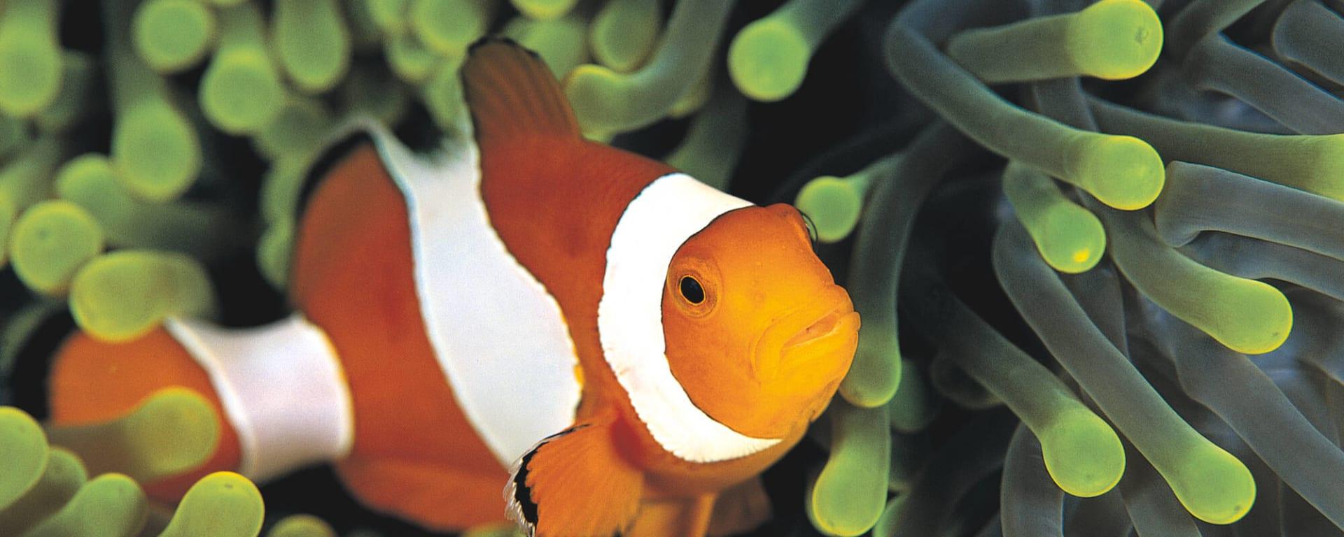 Malediven entdecken mit Tischler Reisen: Malediven Unterwasserwelt Anemonenfisch