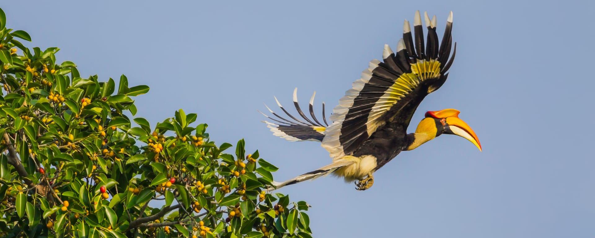 Borneo entdecken mit Tischler Reisen: Malaysia Natur Hornbill