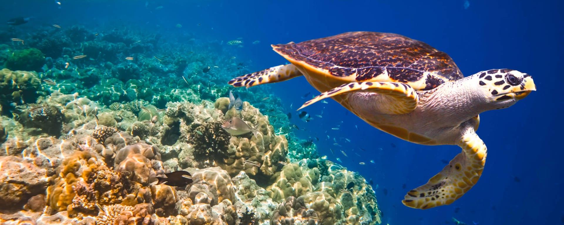 Malediven entdecken mit Tischler Reisen: Malediven Tauchen Meeresschildkroete