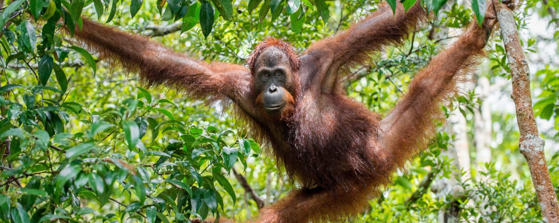 Höhepunkte Borneos ab Kuching: Borneo Orang Utan
