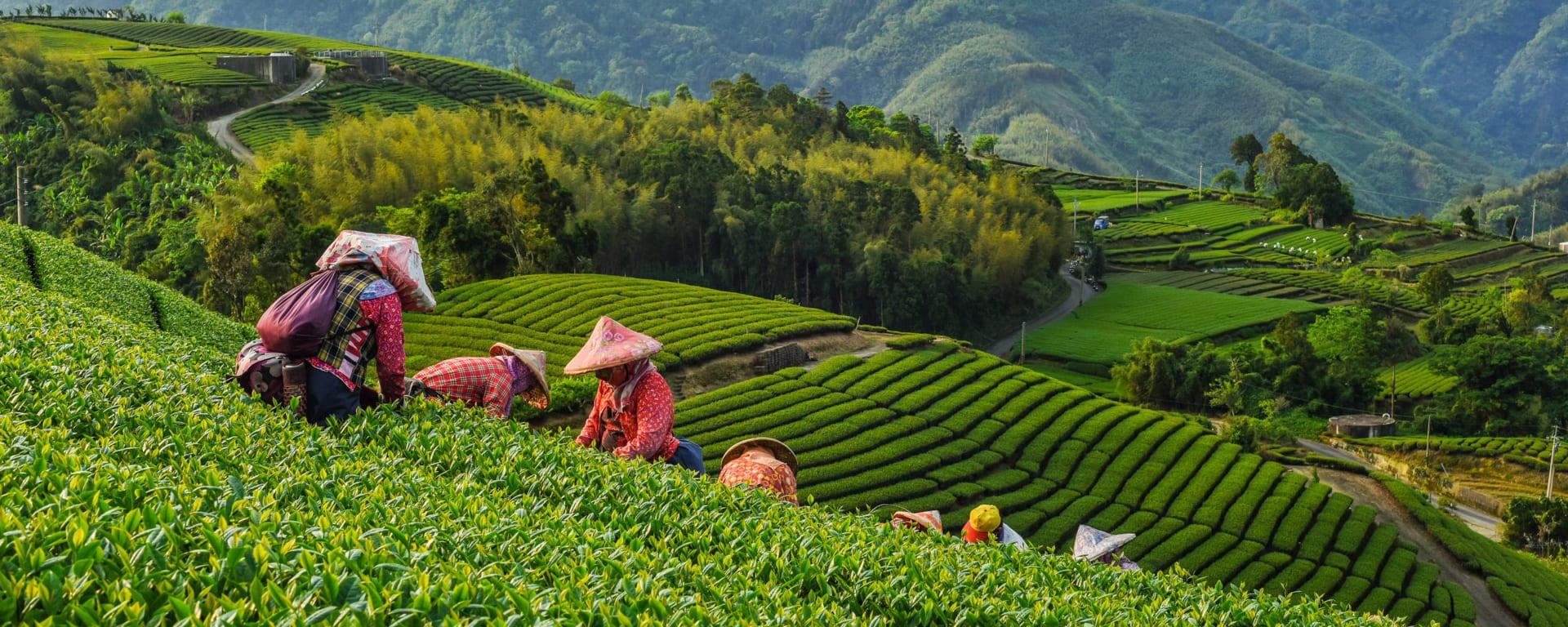 Taiwan entdecken mit Tischler Reisen: Taiwan Alishan Oolong Tee Plantage
