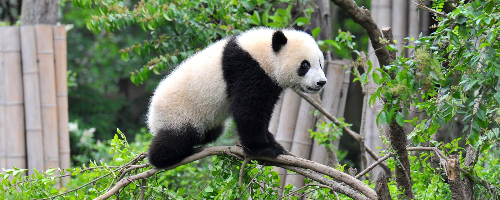 China entdecken mit Tischler Reisen: 1cn-giant-panda-bear-standing-on-tree-st-2015-Hung Chung Chih