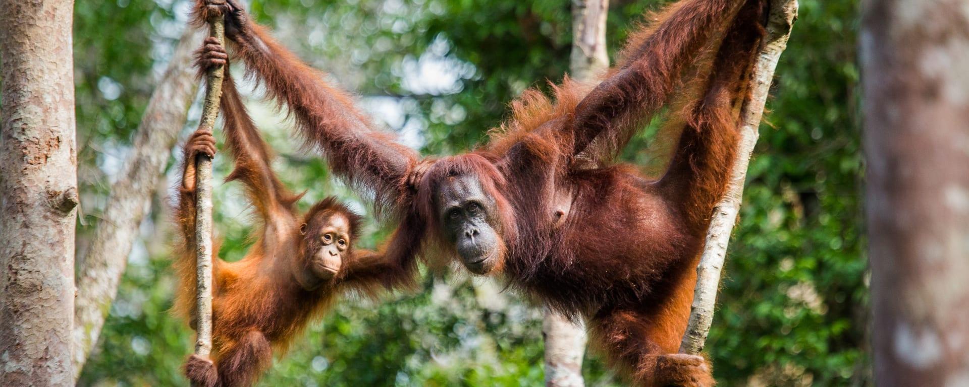 Borneo entdecken mit Tischler Reisen: Malaysia Borneo Orang Utans