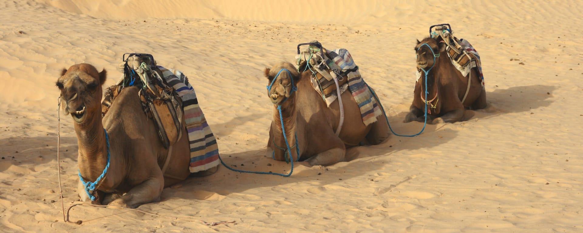 Bahrain entdecken mit Tischler Reisen: Bahrain Wüste Kamele