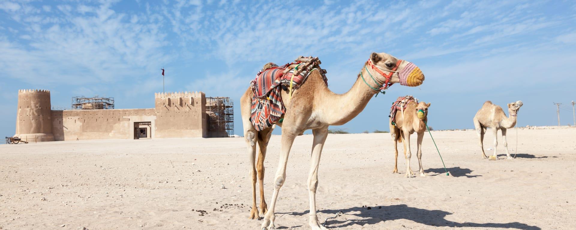 Qatar entdecken mit Tischler Reisen: Qatar Al Zubarah Kamele
