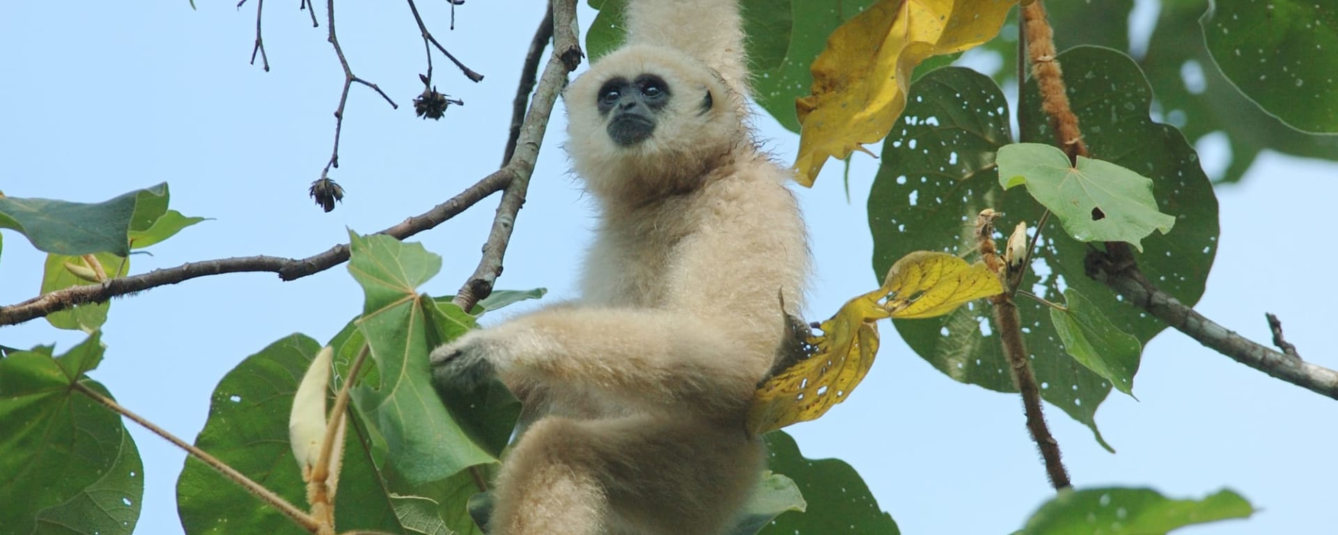 Isan und Süd-Laos ab Bangkok: Thailand Khao Yai Nationalpark Gibbon
