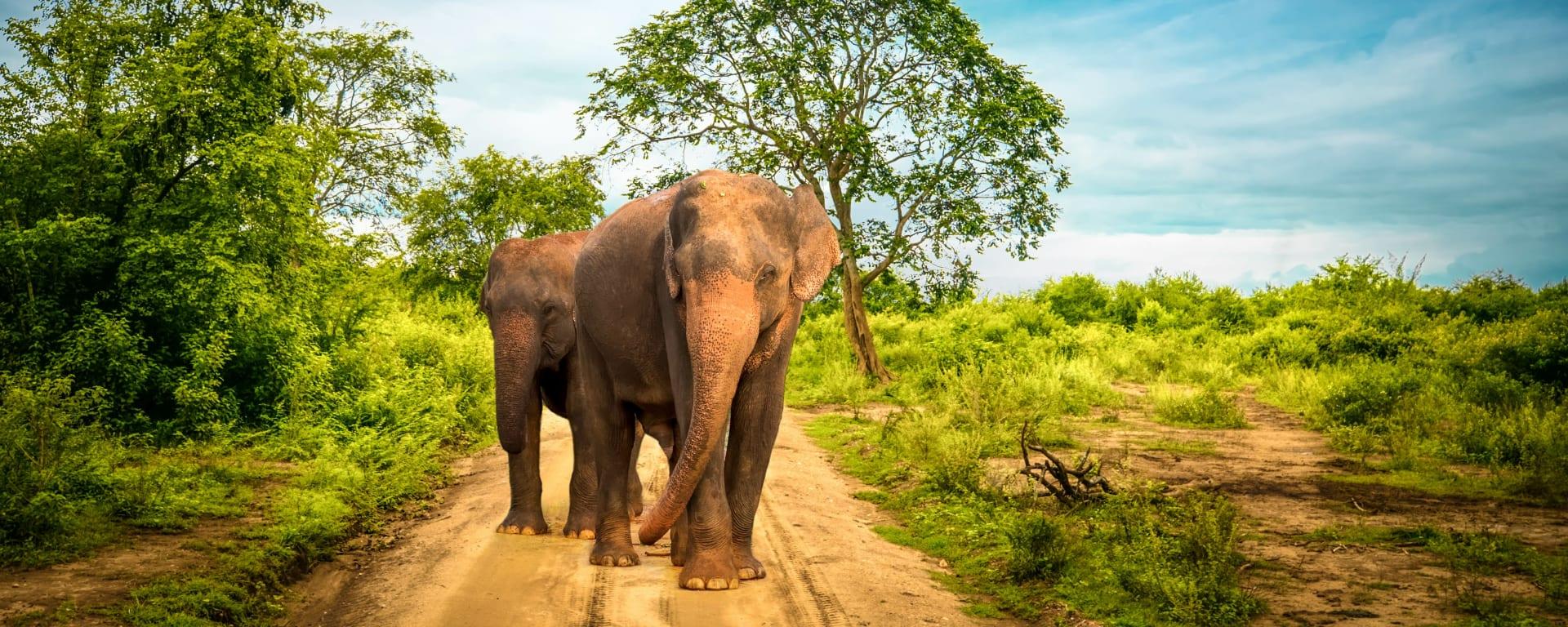 Sri Lanka entdecken mit Tischler Reisen: Sri Lanka Yala National Park Elefanten