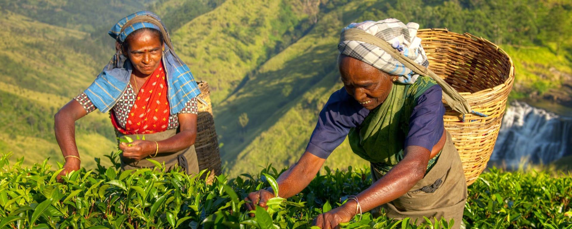 Sri Lanka entdecken mit Tischler Reisen: Sri Lanka Teeplantage