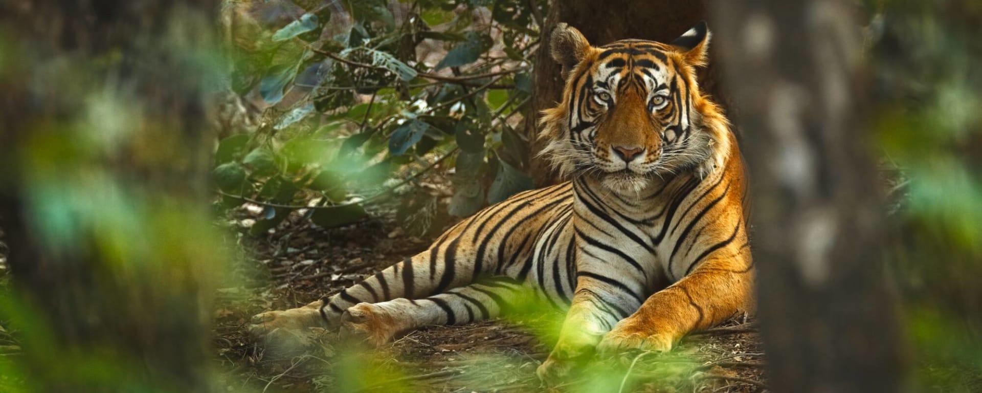 Indien entdecken mit Tischler Reisen: Indien Ranthambore Nationalpark Tiger