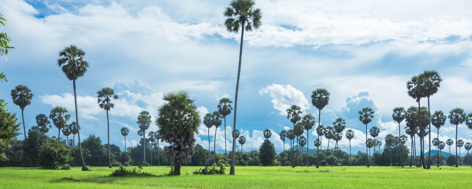 Kambodscha entdecken mit Tischler Reisen: Kambodscha Landschaft Feld mit Palmen